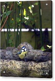Blue Tit On Bird Bath Acrylic Print