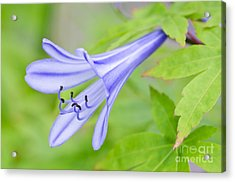 Blue Trumpet Acrylic Print by David Lade