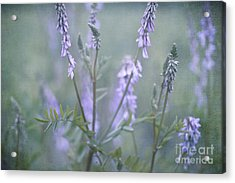 Blue Vervain Acrylic Print by Priska Wettstein