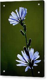 Blue Wildflower Acrylic Print by  Onyonet  Photo Studios