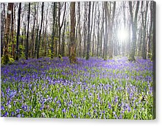 Bluebell Woods Kildare Ireland Acrylic Print by Catherine MacBride