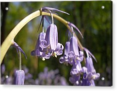 Bluebells 2 Acrylic Print by Michael Standen Smith