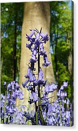 Bluebells Acrylic Print by Michael Standen Smith