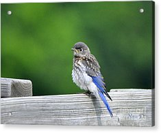 Acrylic Print featuring the photograph Bluebird Baby by Nava Thompson