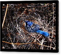 Acrylic Print featuring the photograph Bluebird In Her Nest by Susanne Still