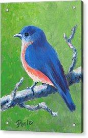 Bluebird In Spring Acrylic Print