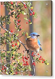 Bluebird In Yaupon Holly Tree Acrylic Print by Jeanne Kay Juhos