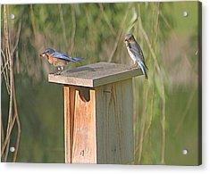 Bluebird Snack Time Acrylic Print by Jeanne Kay Juhos