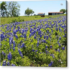 Bluebonnet Farmhouse Acrylic Print by Lynnette Johns