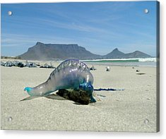 Acrylic Print featuring the photograph Bluebottle by Werner Lehmann