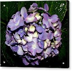 Blueish Purple Hydrangea At Nighfall Acrylic Print by Kim Galluzzo Wozniak