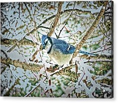 Bluejay In Birches Acrylic Print