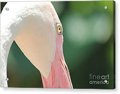 Acrylic Print featuring the photograph Blushing Flamingo by Nola Lee Kelsey