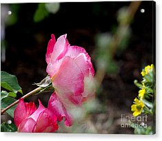 Blushing Pink Beauties Acrylic Print by Donna Parlow