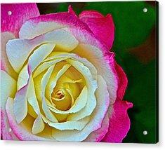 Blushing Rose Acrylic Print by Bill Owen