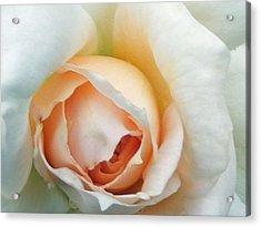 Blushing Rose Acrylic Print