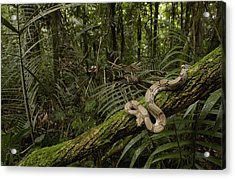 Boa Constrictor Boa Constrictor Coiled Acrylic Print by Pete Oxford