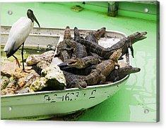 Boat Full Of Alligators  Acrylic Print by Garry Gay