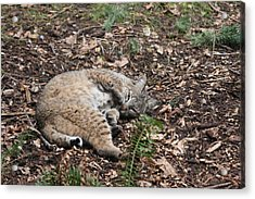 Acrylic Print featuring the photograph Bobcat - 0016 by S and S Photo