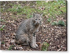 Acrylic Print featuring the photograph Bobcat - 0017 by S and S Photo