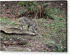 Acrylic Print featuring the photograph Bobcat - 0018 by S and S Photo
