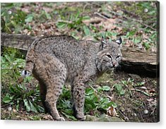 Acrylic Print featuring the photograph Bobcat - 0019 by S and S Photo