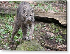 Acrylic Print featuring the photograph Bobcat - 0020 by S and S Photo