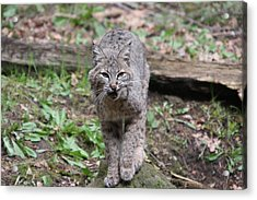Acrylic Print featuring the photograph Bobcat - 0021 by S and S Photo