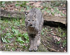 Acrylic Print featuring the photograph Bobcat - 0022 by S and S Photo