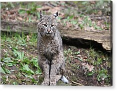 Acrylic Print featuring the photograph Bobcat - 0024 by S and S Photo