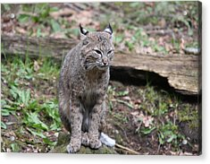 Acrylic Print featuring the photograph Bobcat - 0025 by S and S Photo