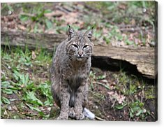 Acrylic Print featuring the photograph Bobcat - 0026 by S and S Photo