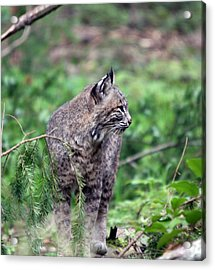 Acrylic Print featuring the photograph Bobcat - 0027 by S and S Photo