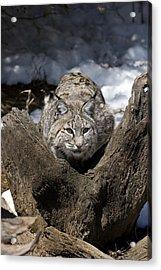 Bobcat  Acrylic Print by Jeff Grabert