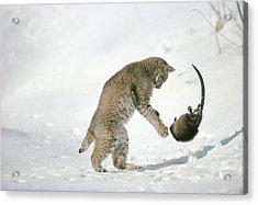 Bobcat Lynx Rufus Hunting Muskrat Acrylic Print by Michael Quinton