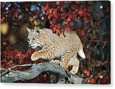 Bobcat Walks On Branch Through Hawthorn Acrylic Print