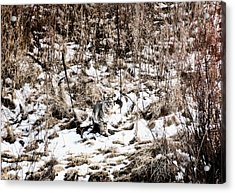 Acrylic Print featuring the photograph Bobcat Winter by Britt Runyon