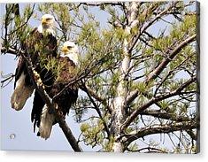 Bog River Eagles   Acrylic Print
