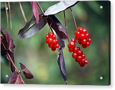 Bokeh Of Coffee Berry Acrylic Print