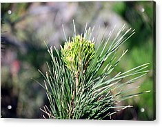 Bokeh Of Evergreen Acrylic Print