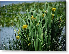 Bokeh Of Yellow Flag Water Iris Acrylic Print