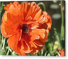 Bold Orange Poppy Acrylic Print
