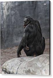Bonobo Acrylic Print by Wade Aiken