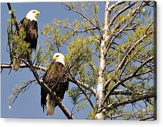 Bor River Eagles Acrylic Print