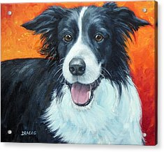 Border Collie On Red Acrylic Print by Dottie Dracos