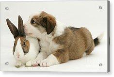 Border Collie Pup With Dutch Rabbit Acrylic Print by Jane Burton