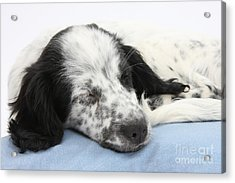 Border Collie X Cocker Sleeping Puppy Acrylic Print by Mark Taylor