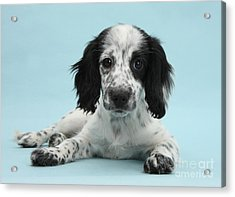 Border Collie X Cocker Spaniel Puppy Acrylic Print by Mark Taylor