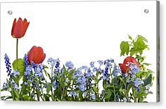 Acrylic Print featuring the photograph Border From Myosotis And Tulips by Aleksandr Volkov