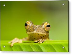 Borneo Red Flying Frog (rhacophorus Pardalis), Danum Valley, Primary Forest, Sabah, Borneo, Malaysia Acrylic Print by Berndt Fischer